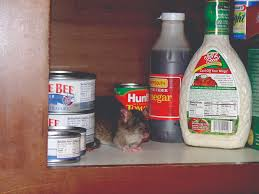 rat infestation signs of rats and the danger of disease