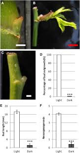 cytokinins are initial targets of light in the control of bud