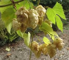 hop to it in the garden plant what you need to brew the