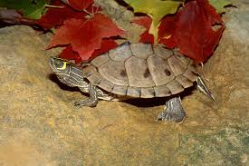 turtles in oklahoma