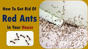 tips to get rid of red ants kill ants how to get rid of ants in