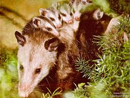 Possum In My Backyard Opossums And Gardening A Few Things To Know The National