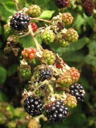 Tree With Fruit That Looks Like Blackberries Cooking With Fruit Blackberries Kitchen Butterfly