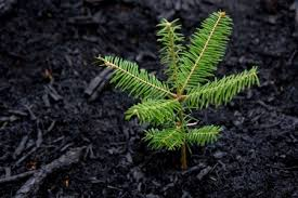 how to grow and care for pine trees doityourself