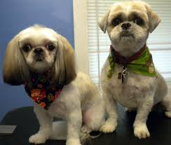 pictures of shorkie dogs with long hair 1 give special attention to their hair shih tzu do not have fur