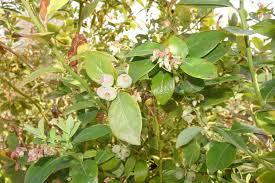native plant nursery santa cruz blueberries for the santa cruz mountains gardening tips for the