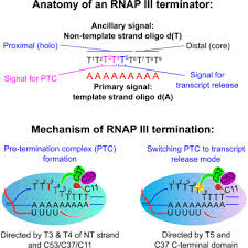 mechanism of transcription termination by rna polymerase iii