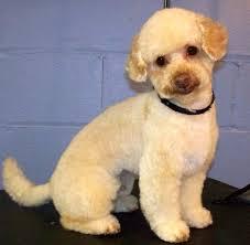 different toy poodle cuts manly poodle cuts poodle forum standard poodle toy poodle