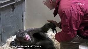 Chimp Meme - dying chimpanzee ape says goodbye to human friend