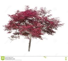 acer japanese maple ornamental tree isolated on white stock