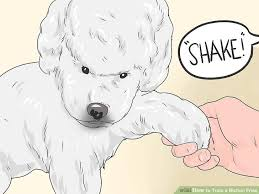 bichon frise therapy dog how to train a bichon frise 11 steps with pictures wikihow
