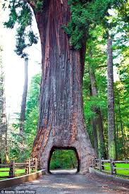 Chandelier Tree Address Incredible Tunnels Carved Into Giant 2 000 Year Old Trees Wide