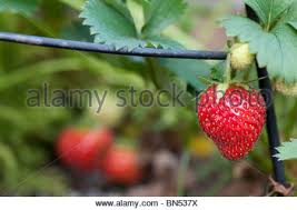 strawberry plant growing up an ornamental plant support stock