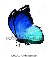clip of blue butterfly on white background k21162702 search
