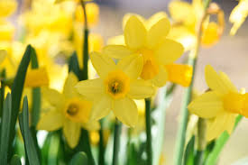 free images flower petal yellow close daffodils narcissus