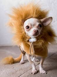 Halloween Costumes Dogs Cutest Puppy Costumes 2011 25 Chihuahua Halloween Costumes Ideas