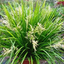 grasses and ground cover plants for shade australian plants