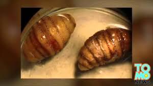 asticot blanc dans la cuisine beurk un homme revient de voyage avec 20 asticots sous sa peau
