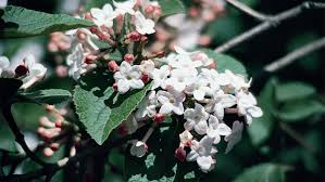 Fragrant Plants For Shade - fragrant sweet box monrovia fragrant sweet box