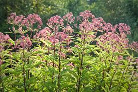 Plants That Don T Need Much Sun Joe Pye Weed Growing A Tall Late Season Bloomer