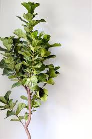 botanical basics fiddle leaf fig paiko