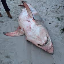 great white shark strands on nauset beach new england boating