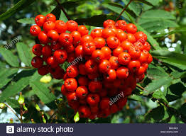 rowan berries sorbus spp family rosaceae red fruits pome of the