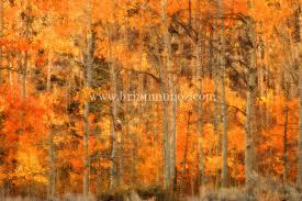 14 aspens fall color mono lake drainage eastern sierra nevada