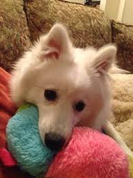 american eskimo dog for sale ontario pawzie tively precious american eskimo rescue home facebook