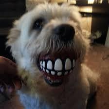 Dog Teeth Meme - my friend got her dog a new ball meme guy