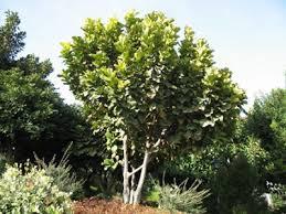the world s tree species fiddle leaf fig ficus lyrata