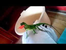 imágenes de iguanas verdes iguanas verdes pequeñas youtube