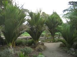 native plants christchurch nikau palms rachel u0026 mark pinterest palm plants and gardens