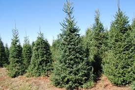 Natural Christmas Tree For Sale - this is the best day to buy a christmas tree if you want to save
