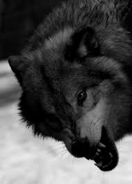Angry Wolf Meme - animals black and white wolf dark nature angry wild wolve gray