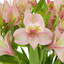 pink wholesale peruvian lilies