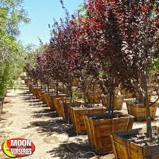 purple leaf plum flowering trees moon valley nursery