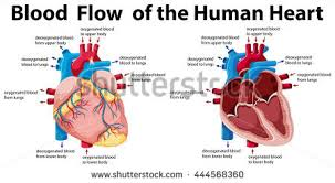 Picture Of Human Anatomy Body Human Heart Stock Images Royalty Free Images U0026 Vectors Shutterstock