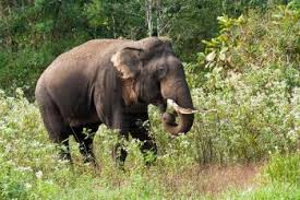 indian elephant facts for kids indian elephant diet u0026 habitat