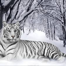 white tiger wallpapers nature free wallpapers