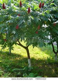 sumac tree stock images royalty free images vectors