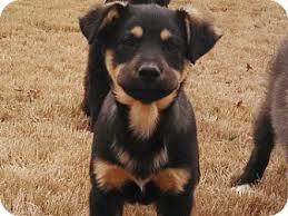 australian shepherd rottweiler mix puppies for sale german shepherd rottweiler mix u2013 breed info characteristics and
