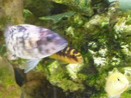 240 litre malawi aquarium tropical fish site