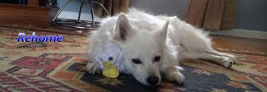 american eskimo dog breeders new england american eskimo rescue stl rescue rehab rehome