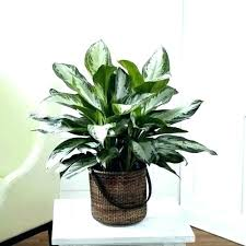good low light plants unique indoor plants low light indoor plants unique house plants low