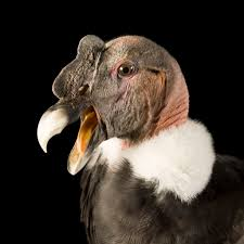 andean condor national geographic