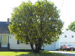 fast growing shade trees zone 6 clanagnew decoration