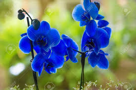 blue orchid flower blue phalaenopsis orchid flowers with green blur garden background