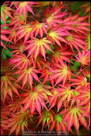 34 best ornamental trees images on acer palmatum