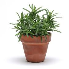herb herb seeds u0026 plants grow culinary and decorative herbs